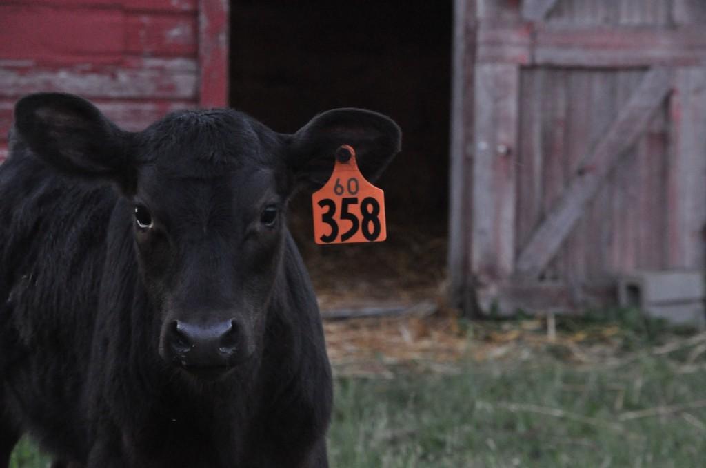 4-h bucket calf