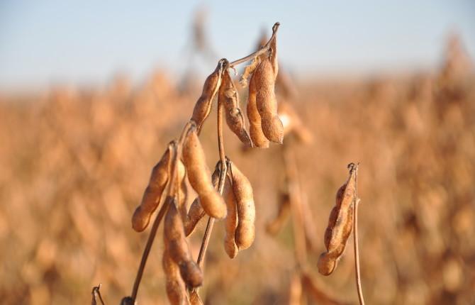 beans, harvest