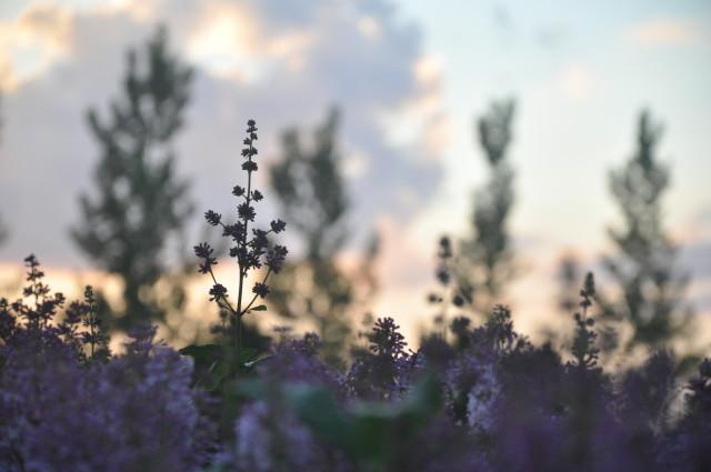 spring, lilacs
