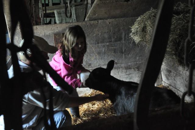 feeding bucket calf
